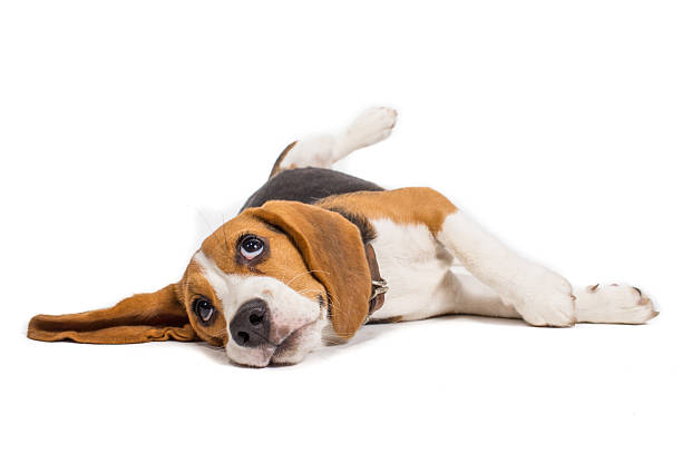 beagle dog on white background beagle dog on white background beagle stock pictures, royalty-free photos & images