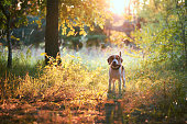Cute beagle dog with fir cone in mouth against beautiful nature background. Sunset scene colors