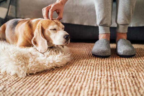 Beagle perro dueño acariciar su mascota acostado en el perro acariciador natural en el suelo y disfrutar de la cálida atmósfera del hogar. - foto de stock