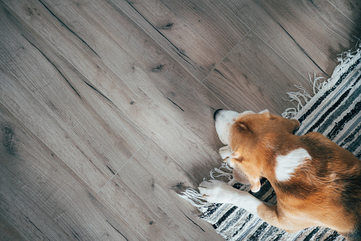istock Beagle dog peacefully sleeping on striped mat on laminate floor. Pets in cozy home top view image. 1084215818