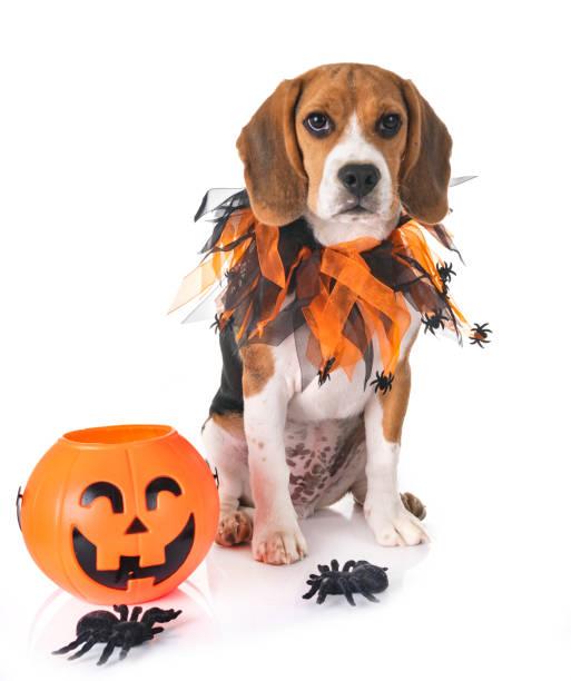 beagle hund - hund spinnenkostüm stock-fotos und bilder