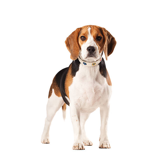 beagle-hund - marko skrbic stock-fotos und bilder