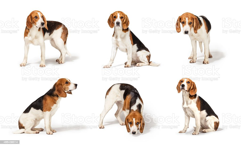 Perro Beagle - foto de stock