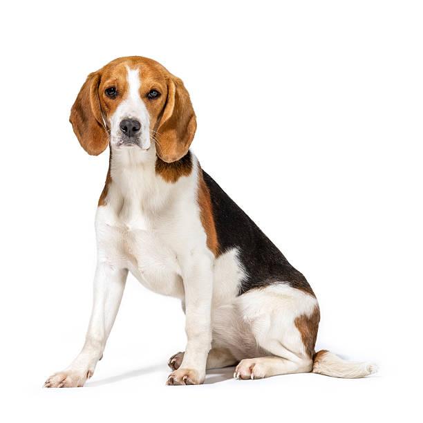 Beagle-Hund – Foto