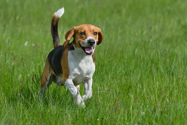 Beagle dog Happy beagle dog having fun on then green grass beagle stock pictures, royalty-free photos & images