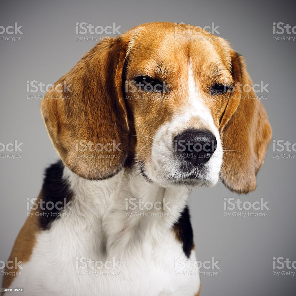 Beagle dog portrait stock photo