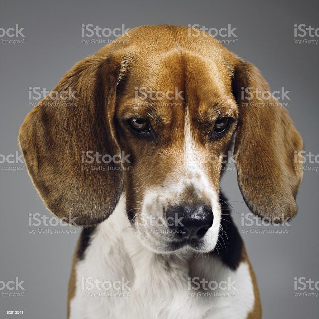 Beagle dog portrait royalty-free stock photo