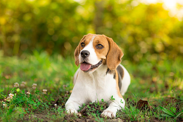 Beagle dog resting in garden Beagle dog resting in garden beagle stock pictures, royalty-free photos & images