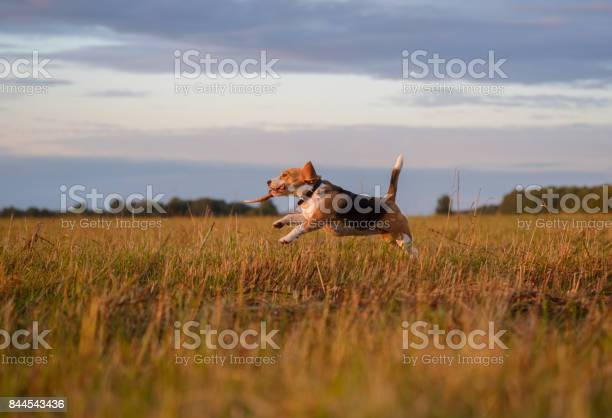 Beagle dog running around and playing with a stick at sunset picture id844543436?b=1&k=6&m=844543436&s=612x612&h=xyclrvz6ca4bl1uvnd4apgkjvsk4wn0tyltkqcpo1h0=