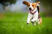Dog Beagle running and jumping with tongue out through green grass field in a spring
