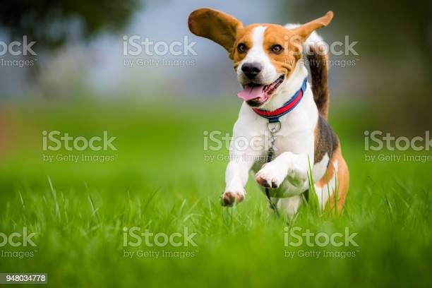 Beagle dog running on a meadow picture id948034778?b=1&k=6&m=948034778&s=612x612&h=thuo uofugvkahzqklprkztfiulspwkt4s7lbka4l 0=