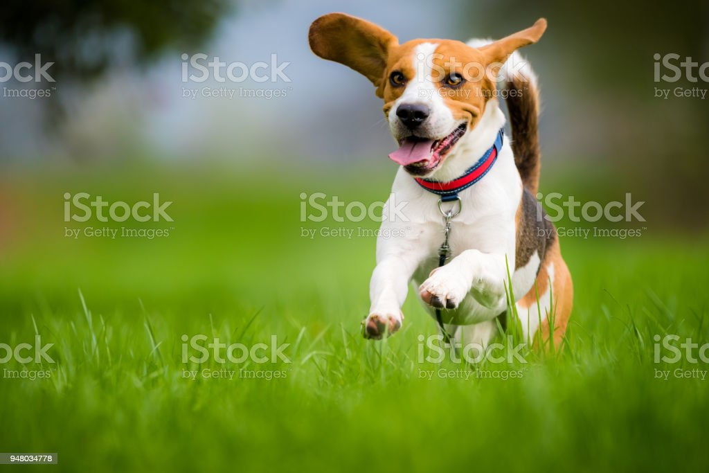 Beagle dog running on a meadow stock photo