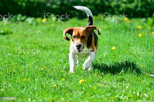 Beagle dog running on grass picture id175400910?b=1&k=6&m=175400910&s=612x612&h=siw3t02lvd2d3x ushuygk2u1uqbp3tyqdbia4hgb7w=