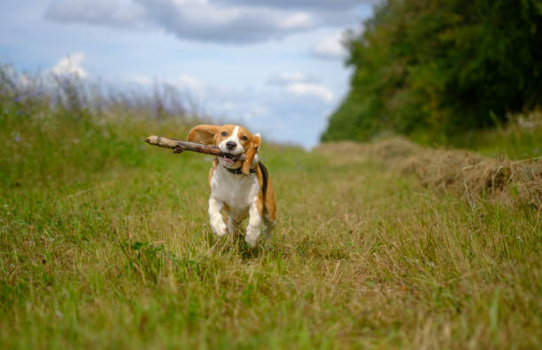 Beagle dog running with a stick in his teeth stock photo