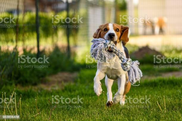 Beagle dog runs with a toy picture id933856458?b=1&k=6&m=933856458&s=612x612&h=krn5pjfsfvfymiiymotadxh cz lj9 rmx73jtylugi=