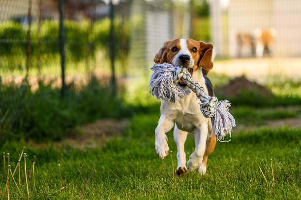 Beagle dog runs with a toy picture id933856458?b=1&k=6&m=933856458&s=612x612&w=0&h=hlagu76sesr xxsmau5racopgt7owbft5dl2hxfqav0=