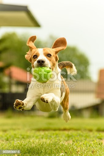 Dog run beagle jumping fun in the garden summer sun with a toy green ball