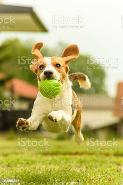 Beagle dog runs with a toy picture id933856616?b=1&k=6&m=933856616&s=612x612&h= 3e4rvjadbosu hfsd26gkt4ts10ecdggve4oxezcya=