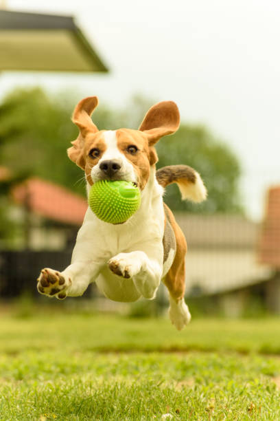 beagle dog runs with a toy - dog jumping stock photos and pictures