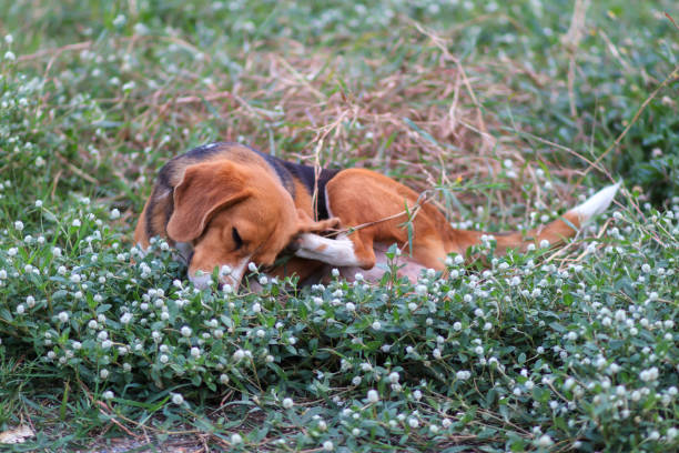 Beagle hond krassen Body op groen gras buiten in het Park. foto