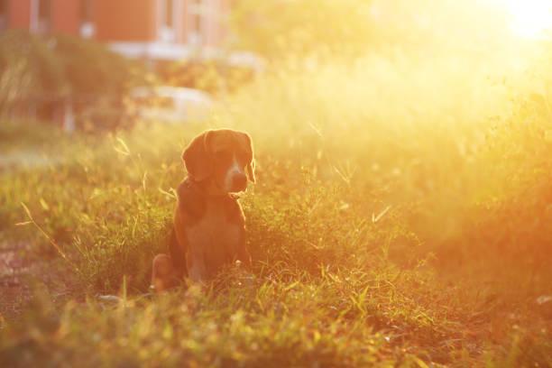 Beagle hond zit op het veld. foto
