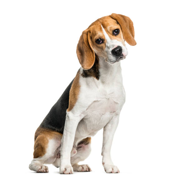 Beagle dog sitting against white background picture id962838350?b=1&k=6&m=962838350&s=612x612&w=0&h=mevxkslxmxx tymxamv7yza6iydxxkcaxy7kb0i7ih4=
