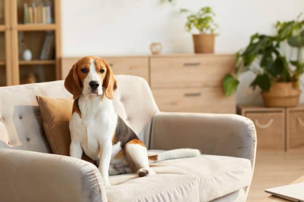 Beagle Dog Sitting on Sofa stock photo