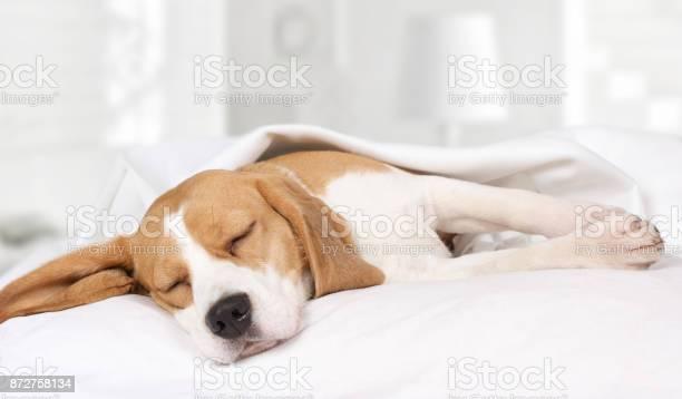 Beagle dog sleeping at home on the bed picture id872758134?b=1&k=6&m=872758134&s=612x612&h=twjaxyy9tkeecgujhwki7ermstmzzj16ni4rt1vsjik=