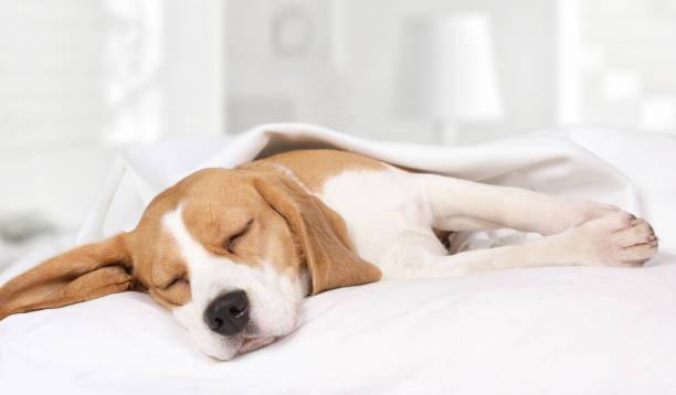 beagle hund schlafen zu hause auf dem bett - decke bettwäsche stock-fotos und bilder