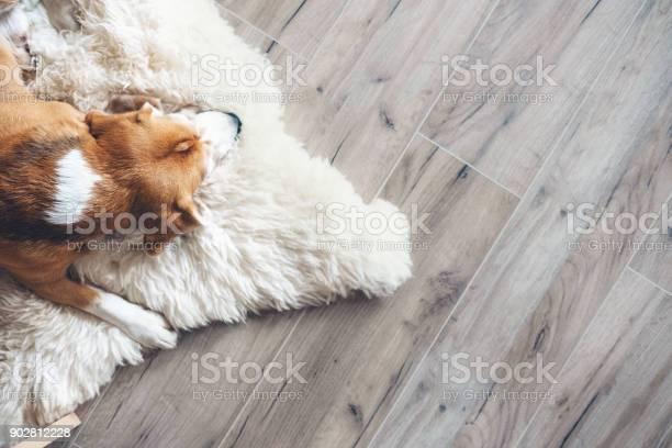 Beagle dog sleeps on sheepskin picture id902812228?b=1&k=6&m=902812228&s=612x612&h=zgcujqtokzzo1mnxmndxvw4pwatczyupss0e9len0fy=
