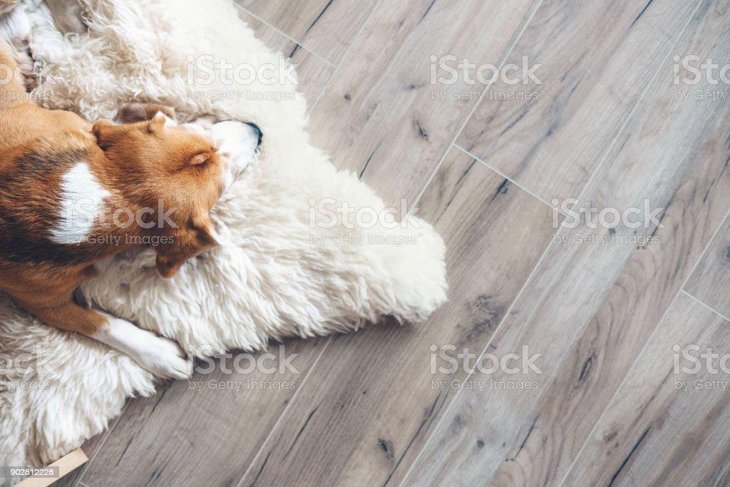 비글 개에 양 가죽 자 스톡 사진