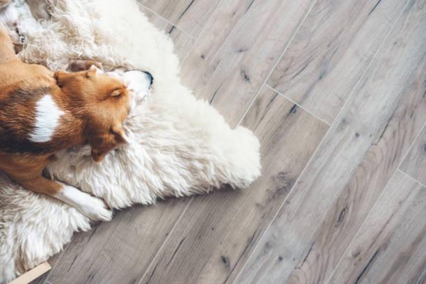 Beagle dog sleeps on sheepskin stock photo