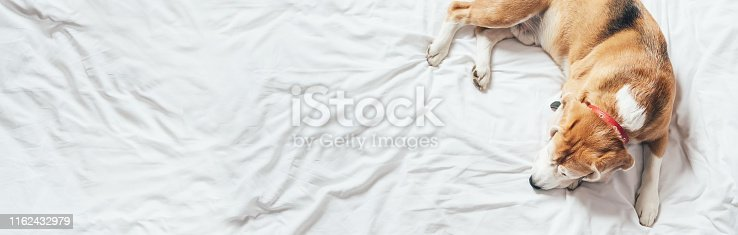 istock Beagle dog sleeps on the clear white bed 1162432979