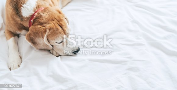 istock Beagle dog sleeps on the clear white bed sheet top view 1091027372