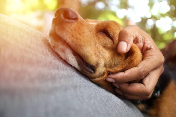 Beagle hond slaapt op de eigenaar van de buik. foto
