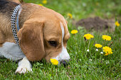 istock Beagle dog sniffing dandelion flowers outdoors on springtime day 668924236