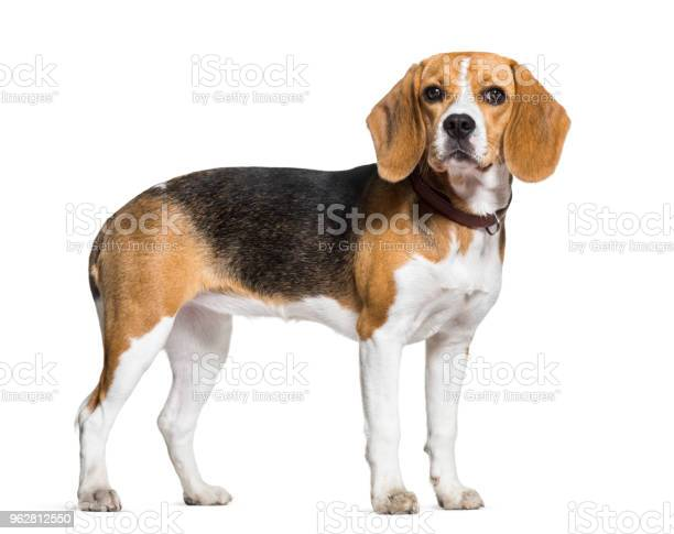 Beagle dog standing against white background picture id962812550?b=1&k=6&m=962812550&s=612x612&h=s7 sqs1u6otlctllnkbkifaqppsyw1itwp vsw5k37g=