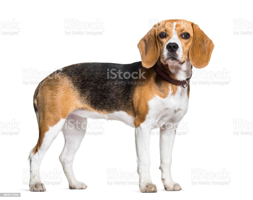 Pie de perro beagle contra fondo blanco - foto de stock