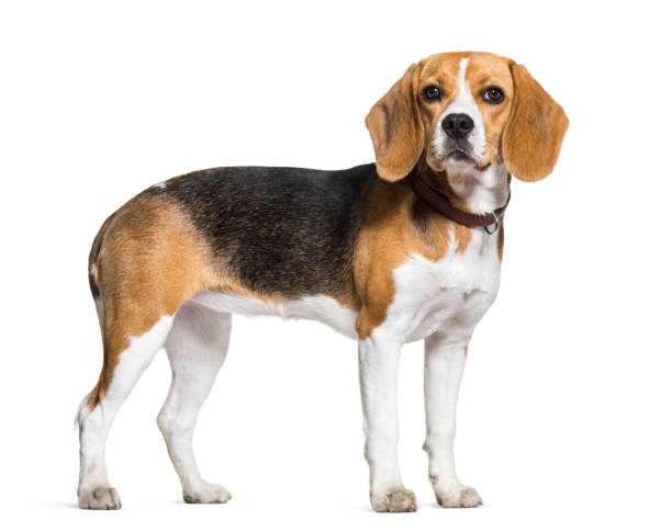 Beagle dog standing against white background Beagle dog standing against white background beagle stock pictures, royalty-free photos & images
