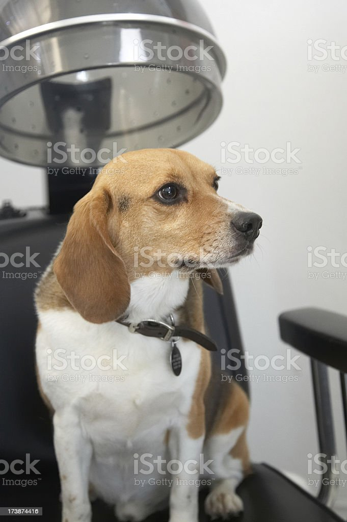 Beagle dog under the hair drier royalty-free stock photo
