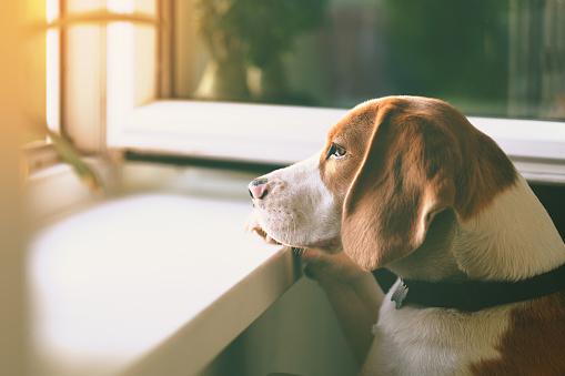 Beagle dog waiting