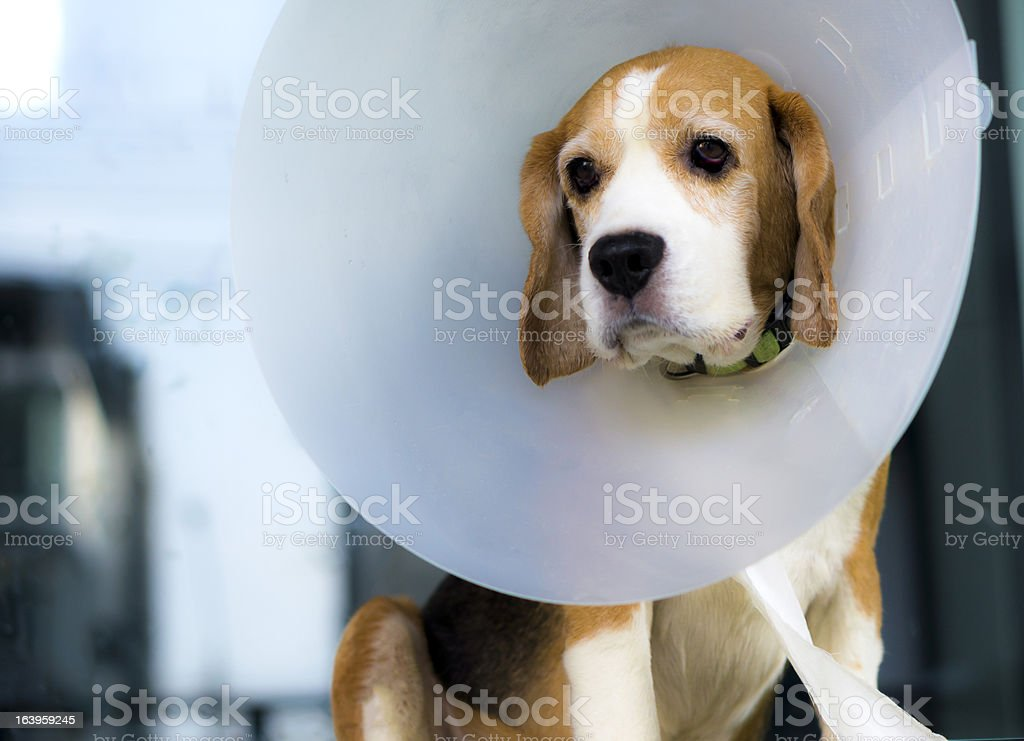 A beagle dog wearing a white head come stock photo