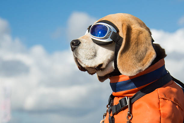 Beagle dog wearing blue flying glasses stock photo