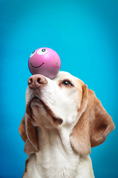 Beagle dog with a ball on nose Beagle bicolor dog holding a ball on his nose animal tricks stock pictures, royalty-free photos & images