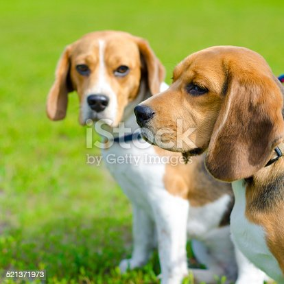 two beagle dogs on a green grass outdoors