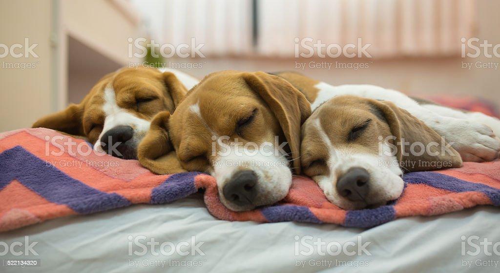 Beagle Dogs stock photo