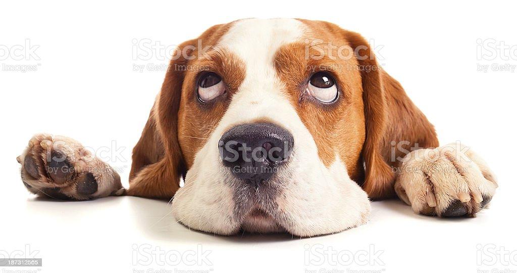 beagle head isolated on white stock photo