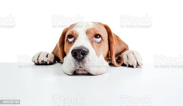 Beagle head isolated on white picture id493205763?b=1&k=6&m=493205763&s=612x612&h=2yjyqm8gpd1jw77eccsmwp 15rglrxphfsp0fkud2jo=
