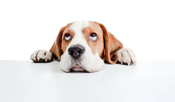 beagle Kopf, isoliert auf weiss – Foto
