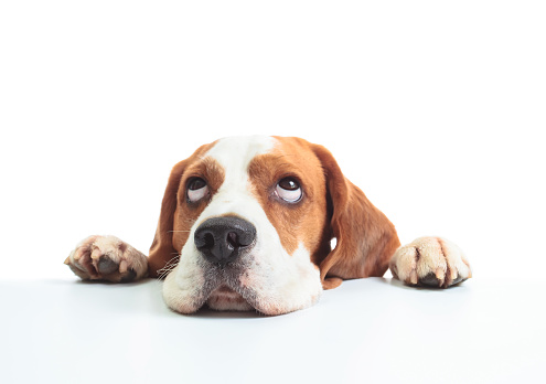 Beagle head isolated ona white.
